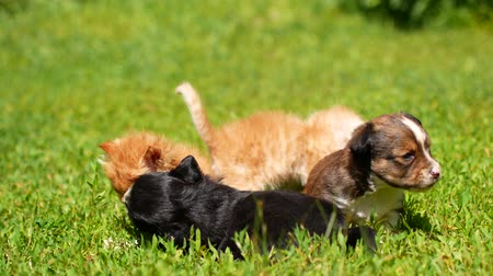 kot i pies : kittens and puppies are playing on the grass.
