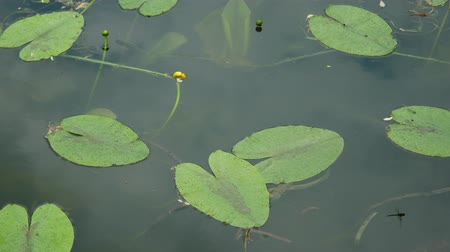 submerso : dragonfly sitting on a lily and fly.