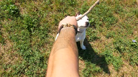 dangle : POV top-down view, owner tease cute young beagle dog with wooden stick, slow motion shot
