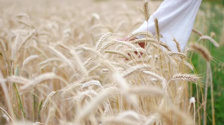 Close-up of womans hand running through wheat field, dolly shot. Dostupné videozáznamy