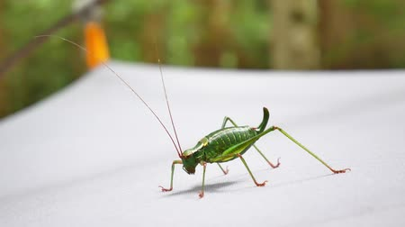 deguisement : A large green grasshopper without wings sits on a white background Vidéos Libres De Droits
