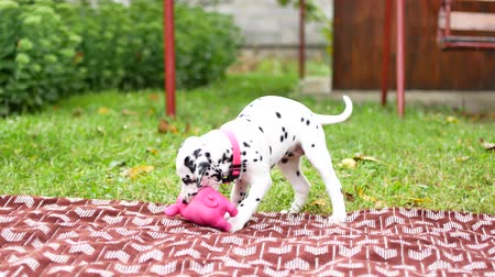 bontkraag : The Dalmatian puppy plays in the yard. Stockvideo