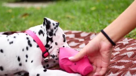 фон : The Dalmatian puppy plays in the yard. Стоковые видеозаписи