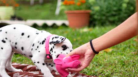 canine teeth : The Dalmatian puppy plays in the yard. Stock Footage