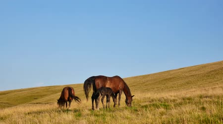 foothills : A family of horses grazes in the mountains. Mom, Dad and Child in the Carpathians.