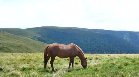 foothills : A lonely horse grazes in the mountains. Carpathians.