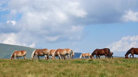 Walking Horse. The horse moves slowly against the background of the grazing herd