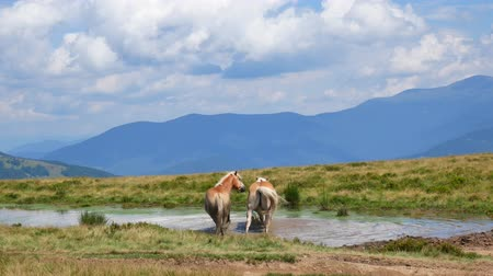 prairie : A pair of horses bathe in a mountain lake. Love concept