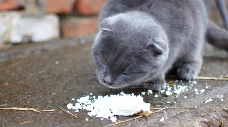 temas animais : Gray cat eats with pleasure