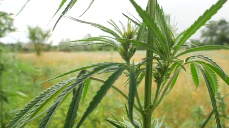 melez : Wild green bushes of young cannabis marijuana, sprouted in the wild corners of nature.