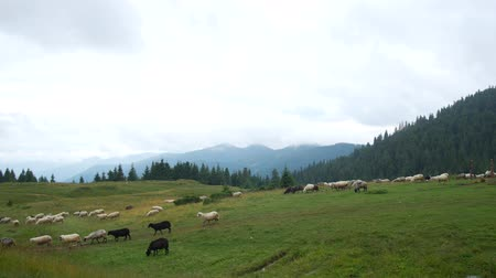 koyun eti : Flock of sheep on a plain in the mountains.