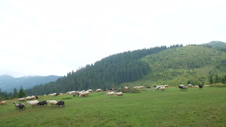 ewe : Flock of sheep on a plain in the mountains.