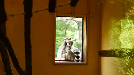 madagaskar : Lemurs hug and bask in the sun. Stok Video