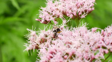 опылять : Bumblebee pollinates a bush with flowers.
