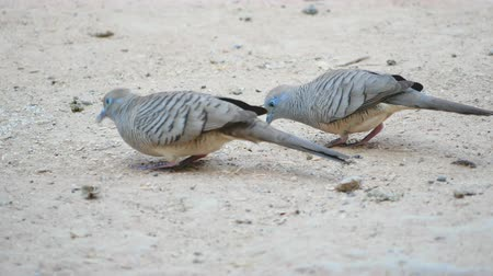 поясница : Two doves looking and eating food with walking on the ground Стоковые видеозаписи