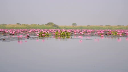 marsh : Many red lotus flowers are in the swamp Stock Footage