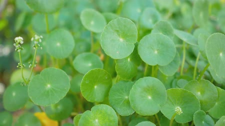homeopatia : Centella asiatica swing by the wind