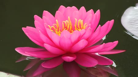 natural tranquil : beautiful lotus  Stock Footage