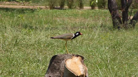 indicus : beautiful red-wattled lapwing(Vanellus indicus)