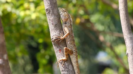 pogona : Lizard on the tree