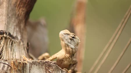 pogona :  lizard on tree