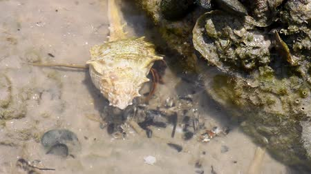 claw feet : Hermit crab in its conch on the sand  Stock Footage