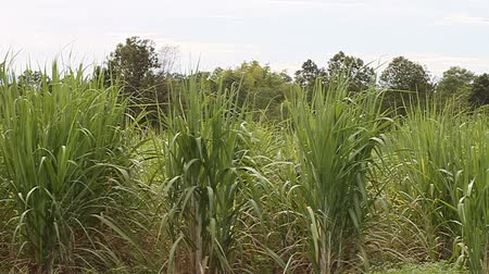 rural brazil : Sugarcane  Stock Footage