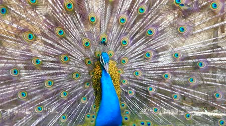 Peacock displaying his colorful feathered