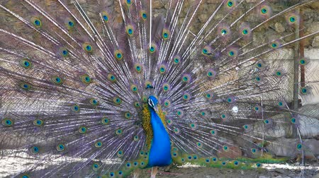 çiftleşme : Peacock displaying his colorful feathers