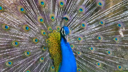 Peacock displaying his colorful feathers
