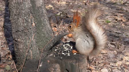squirrel : A cute brown squirrel sits on a stump and eats seeds on a Sunny spring day. Stock Footage