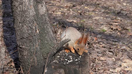 tuskó : A cute brown squirrel sits on a stump and eats seeds on a Sunny spring day. Stock mozgókép