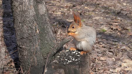 sciurus : A cute brown squirrel sits on a stump and eats seeds on a Sunny spring day. Stock Footage
