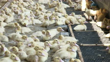 livestock sector : Baby ducks in a farming operation - bird meat industrial production.