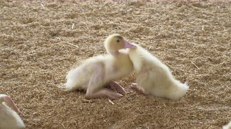 patinho : Baby ducks in a farming operation - bird meat industrial production.