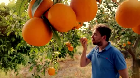 citrusové plody : Gardener man sniffing orange in fruit grove. Man eating juicy orange in garden