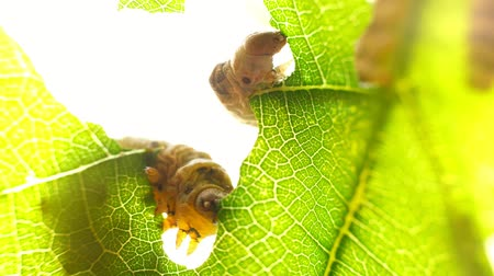 silkworm : Silkworm caterpillar eating leaf at green tree in summer garden