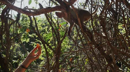tricky : Tourist feeds a monkey with fruits in the jungle.