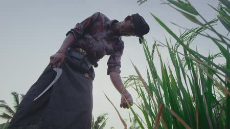 harvesting : Bottom view of farmer checking maturity of crop in the field
