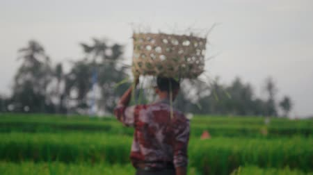 reaper : Back view of planter walking across rice field