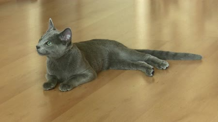savci : Young russian blue cat looking