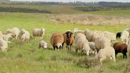portugalsko : Sheep and lambs in the countryside from Portugal