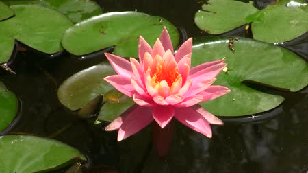 lilie : Pink lotus flower floating on water