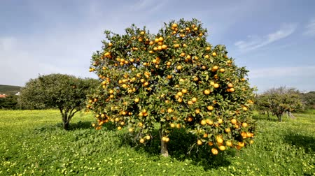 orange : Orange tree in springtime in Portugal