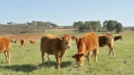 vacas : Cows and calves in the countryside