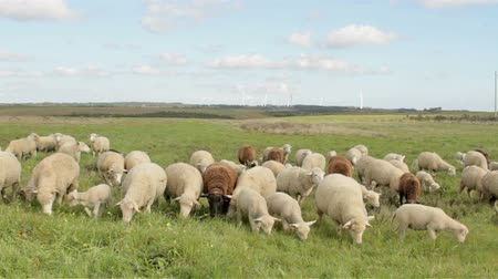 nascido : Sheep and lambs in the countryside from Portugal