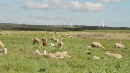 wełna : Sheep and lambs in the countryside from Portugal
