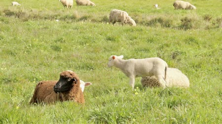 cordeiro : Sheep and lambs in the countryside from Portugal