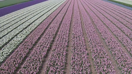 tulipany : Aerial from tulip fields in the Netherlands