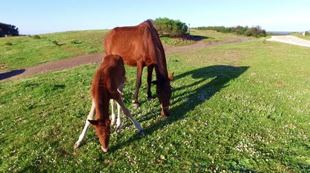 bloodstock : Mare with her foal in the meadow